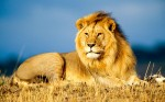african-lion-wallpapers-hd_2