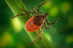 A blacklegged tick, also known as deer tick. Centres for Disease Control Photo