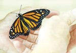 Shorly after emerging, a new adult monarch prepares to fly for the first time. Glenn Ogilvie