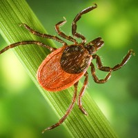 A deer tick, also known as a blacklegged tick, is difficult to see and has a painless bite. Centres for Disease Control Photo
