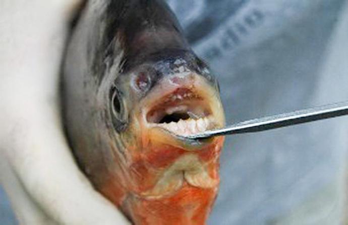 Surprised anglers landing vegetarian piranha the for Pacu fish teeth